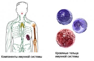 СПИД уничтожает компоненты имунной системы