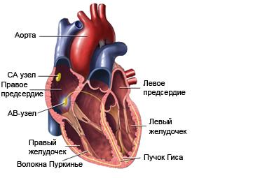 Сердцебиение: анатомия сердца