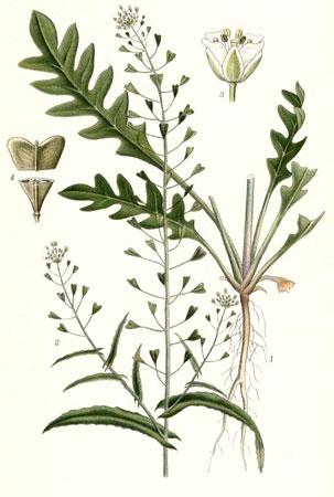 Пастушья сумка обыкновенная - Capsella bursa-pastoris М.